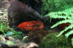 蕃茄青蛙是毒的在热带湿森林里在明亮的叶子着色下 库存图片
