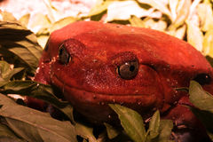 蕃茄青蛙, Dyscophus antongilii,是一只大青蛙, Maroantsetra,马达加斯加 免版税库存照片