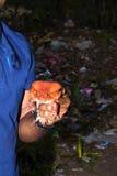 蕃茄青蛙, Dyscophus antongilii,是一只大青蛙, Maroantsetra,马达加斯加 免版税图库摄影
