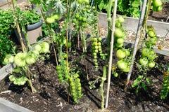 蕃茄领域用大蕃茄和葡萄蕃茄 库存图片