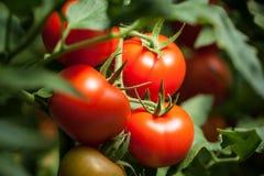 蕃茄–'Pomodori'macrophotography 免版税库存照片