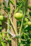 年轻蕃茄 免版税库存照片