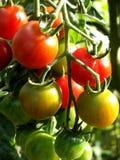 蕃茄14 库存图片