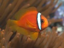 蕃茄clownfish 库存图片