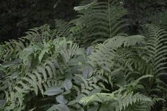 蕨丛林在森林里 库存照片