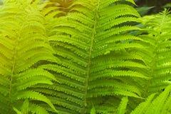 蕨丛林 免版税库存图片