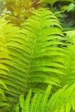 蕨丛林 库存图片