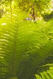 蕨丛林 免版税图库摄影
