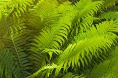 蕨丛林 库存照片
