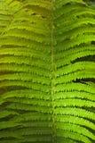 蕨丛林 免版税库存照片