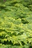 蕨伟大的绿色灌木在森林里 免版税库存照片