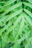 蕨凤尾蕨属 库存照片