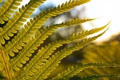 蕨分支在日落的 库存照片