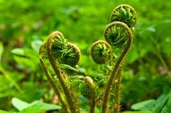 蕨卷曲的叶状体在春天 库存图片