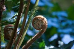 蕨卷起与叶子在背景中 免版税图库摄影