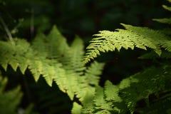 蕨厂在森林里 库存照片