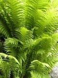 蕨发光的叶子 免版税库存照片
