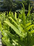 蕨叶子和孢子接近 库存图片