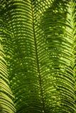 蕨叶子在南佛罗里达 图库摄影