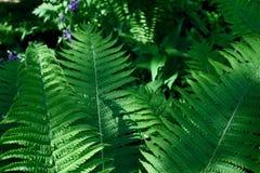 蕨叶子在夏天庭院里 免版税图库摄影