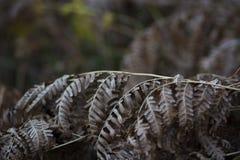 蕨叶子在秋天 免版税库存图片