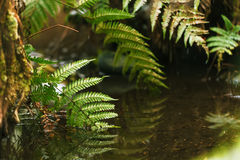 蕨叶子在水中 森林 免版税库存照片