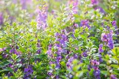 蕨叶子淡紫色,紫罗兰色淡紫色开花开花在领域 免版税图库摄影