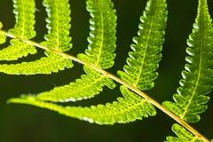 蕨叶子特写镜头  库存图片