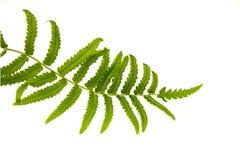 蕨叶子用水投下特写镜头 免版税库存图片