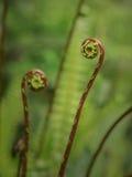 蕨叶子的芽 免版税库存照片