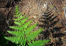 蕨叶子,优胜美地,优胜美地国家公园 图库摄影