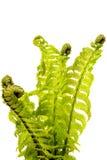 蕨叶子 免版税库存照片