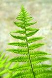 蕨叶子 免版税图库摄影