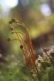 年轻蕨叶状体 免版税图库摄影