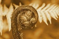 蕨叶状体Koru (乌贼属) 图库摄影
