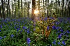 蕨和会开蓝色钟形花的草在日出的森林里 库存图片