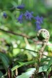 蕨和会开蓝色钟形花的草 库存照片