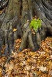 蕨和叶子在树根 图库摄影