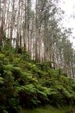 蕨和树在山在维多利亚` s亚拉谷和Dandenong范围支持 免版税图库摄影