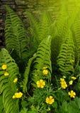 蕨和精美黄色毛茛属花的年轻叶子 库存图片