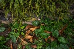 蕨和青苔,下木 免版税库存图片