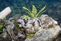 蕨在丑恶的卷曲获取树桩增长 免版税库存图片