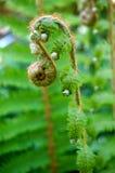年轻蕨在基拉尼 免版税库存图片