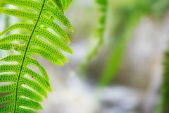 蕨在密林 免版税库存图片