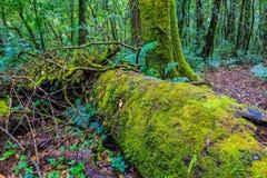 蕨在树残余部分增长在热带雨林里 免版税图库摄影