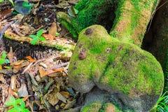 蕨在树残余部分增长在热带雨林里 库存图片
