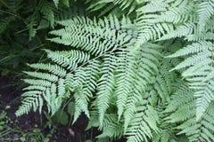 蕨在森林里 图库摄影