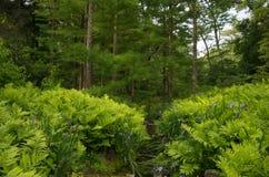 蕨在森林里 免版税库存图片