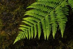 蕨在波特兰` s克里斯特尔里弗杜鹃花庭院里 免版税库存照片