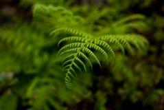 蕨在波特兰` s克里斯特尔里弗杜鹃花庭院里 免版税库存图片